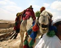 Smile. Smiling camel at cairo egypt stock photo