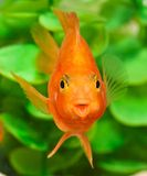 Smile of aquarium fish parrot Royalty Free Stock Image
