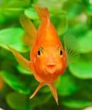 Smile of aquarium fish parrot Royalty Free Stock Image