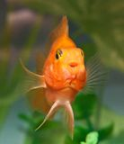 Smile of aquarium fish parrot Stock Images