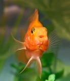 Smile of aquarium fish parrot Stock Images