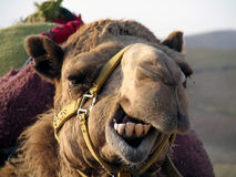 Smile Camel!. A picture of a camel that desperatly needs a dental plan stock photo