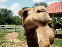 Smile Camel in a farm Royalty Free Stock Images