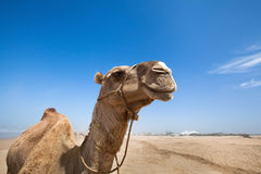 Smile of camel. Portrait from Morocco Royalty Free Stock Photo