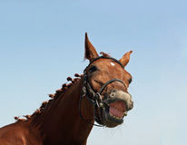 Smile of chestnut horse Stock Photos