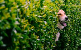 Free Smile Dog In The Bushes Fence. Stock Photo - 190358450