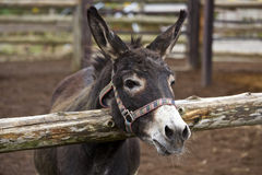 Smile of a donkey. Is pretty Stock Images