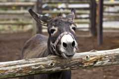 Smile of a donkey Stock Images