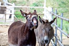 Smile of a donkey Stock Image