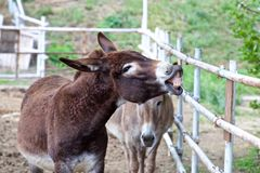 Smile of a donkey Royalty Free Stock Photos