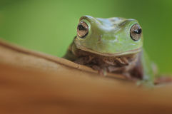 Smile Frog Stock Images