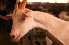 Smile goat Stock Image