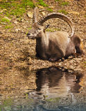 Smile goat resting on the water. Nature animal theme royalty free stock photography