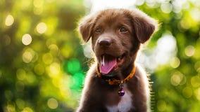 Free Smile Happy Labrador Retriever Puppy Stock Photos - 89834053