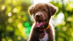 Smile happy Labrador Retriever puppy. Brown smile happy Labrador Retriever puppy dog with sunset bokeh abstract background stock photos
