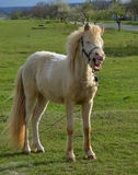 The smile of a horse. Smiling white stallion in a pasture royalty free stock photos