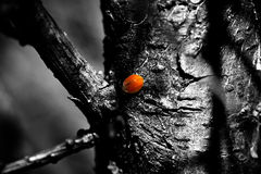 Smile for a ladybug. Tree with a ladybug in spring - spot color Royalty Free Stock Photography