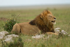 Smile of the lion king in Kenya Royalty Free Stock Photos