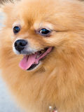 Smile Mature pomeranian dog. Is 8 years old Royalty Free Stock Photography