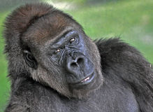 Smile for me. Photo of a gorilla smiling for the camera royalty free stock images