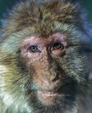 The smile of the monkey, The Barbary macaque Macaca sylvanus. The nice monkey Royalty Free Stock Photography