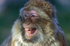 The smile of the monkey, The Barbary macaque Macaca sylvanus. The nice monkey Stock Photography
