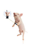 Smile pig. Taking a selfie together with smartphone camera Royalty Free Stock Photography