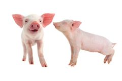 Smile pig Stock Photography