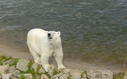 Smile of the polar bear Royalty Free Stock Images