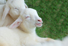 Smile of sheep. In the farm Stock Images