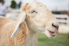 Smile sheep face Stock Photo