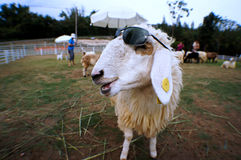 Smile sheep Royalty Free Stock Images