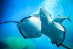 Smile Stingray, underwater world, blue. Scat in blue water, air bubbles Stock Photo