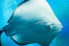 Smile Stingray, underwater world, blue. Scat in blue water, air bubbles Royalty Free Stock Photo