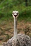 Smile Struthio camelus Stock Photos