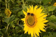 Smile. Sunflower and bumblebees. Royalty Free Stock Images