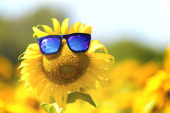 A smile sunflower wearing sunglasses in farm Royalty Free Stock Images