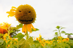 Smile of Sunflowers field with lighting flare effect. Royalty Free Stock Photo