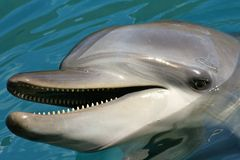 Smile: You're a Dolphin. Tursiops truncatus, the common bottle nosed dolphin, very friendly and easy to get along with, very curious and always hungry Stock Photo