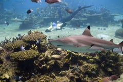 Smileshark. Blacktip Reef Shark (Carcharhinus melanopterus) swimming over reef, with skindiver taking photo Royalty Free Stock Photo