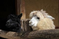 Smiley alpaca. Two alpaca were waiting for food from visitors Royalty Free Stock Photos