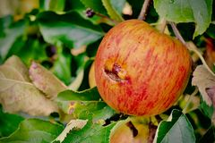 Smiley Apple σε έναν οπωρώνα Στοκ φωτογραφία με δικαίωμα ελεύθερης χρήσης