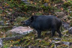 Smiley Black Boar in Fall at Omega Park. Fall Folliage surrounding royalty free stock photo