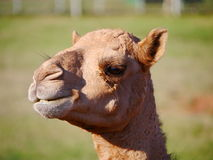 Smiley Camel Royalty Free Stock Photography
