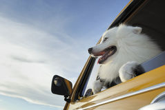 Smiley dog. White dog have a good time on the front seat of yellow car stock photo