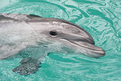Smiley dolphin Royalty Free Stock Image