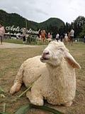 smiley dos carneiros Fotografia de Stock Royalty Free