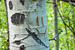Smiley Face Carved into Aspen Tree Trunk Royalty Free Stock Photos