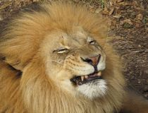 Smiley Face Lion Photo libre de droits