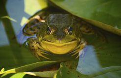 Smiley Frog Stock Image